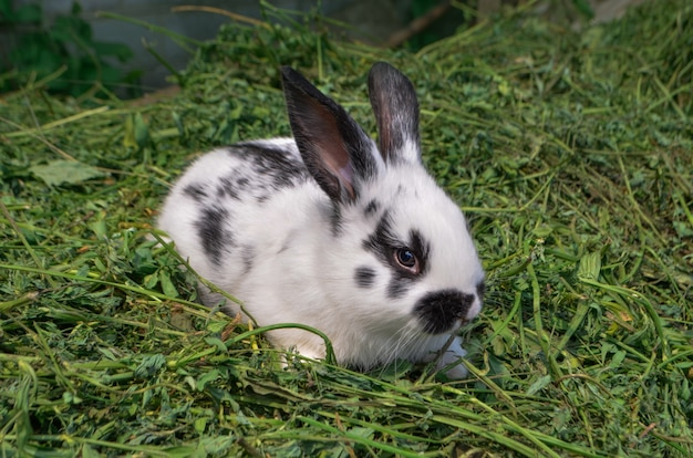Petit lapin blanc et noir