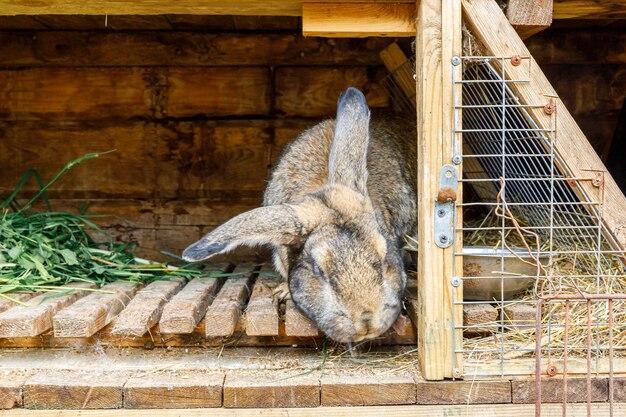 Petit lapin brun d'alimentation à mâcher de l'herbe dans un huche de lapin sur fond de ranch de grange de ferme d'animaux lapin i...
