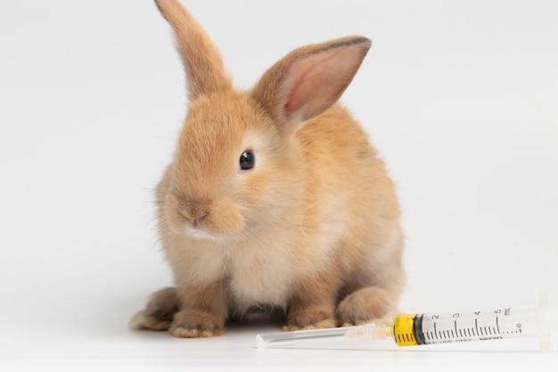 Petit lapin brun avec une seringue de vaccin assis sur un fond blanc isolé au studio.