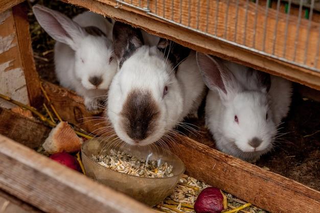 Petit lapin de couleur brune mange des légumes sur l'herbe.