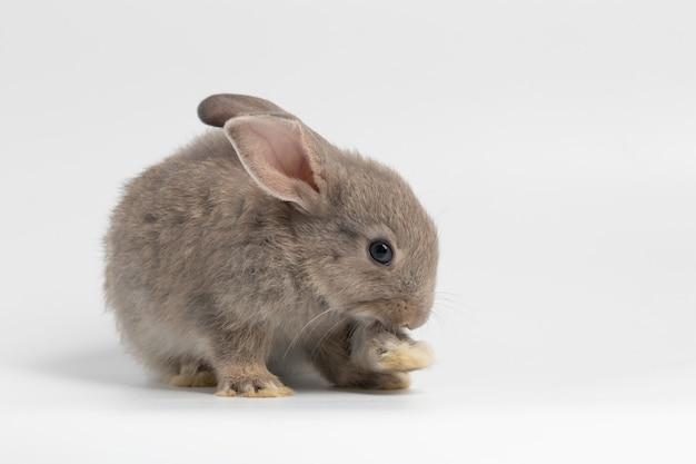 Petit lapin gris assis sur fond blanc isolé au studio.