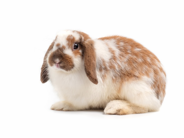 Petit lapin gris isolé