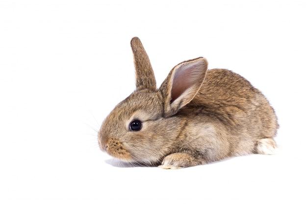 Petit lapin gris moelleux, isoler, lapin de pâques