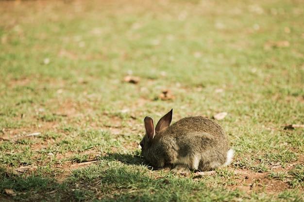 Petit lapin marchant sur le pré mange de l'herbe