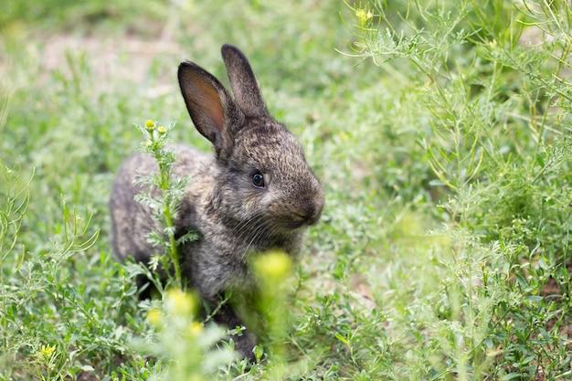 Petit lapin noir dans l'herbe verte