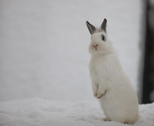 Petit lièvre blanc mignon sur la neige
