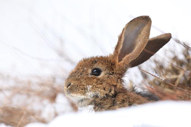 Petit lièvre gris mignon sur la neige
