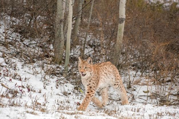 Petit lynx de sibérie dans la neige