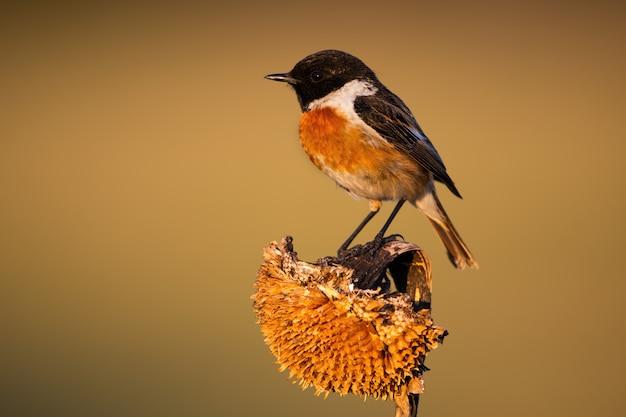 Petit mâle européen stonechat assis sur un tournesol sec dans la lumière du matin