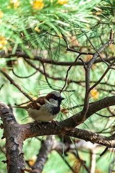 Un petit moineau femelle reposant sur le ramifié rempli d'aiguille de pin dans le parc