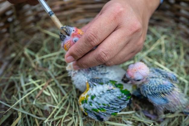 Petit oiseau conure solaire nourri avec une seringue