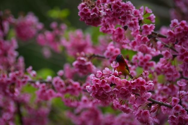 Un petit oiseau, délicat, nectar de fleurs de cerisier, rose à l'étage supérieur qui fleurit à ang khang à chiang mai, dans le nord de la thaïlande