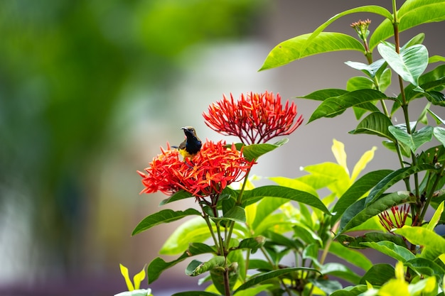 Le petit oiseau minuscule est debout et mange un carpelle de fleur d'épi rouge.