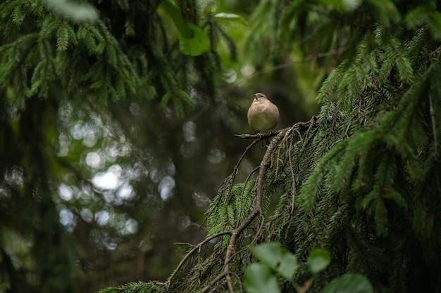 Petit oiseau pinson assis sur l'épinette dans la forêt