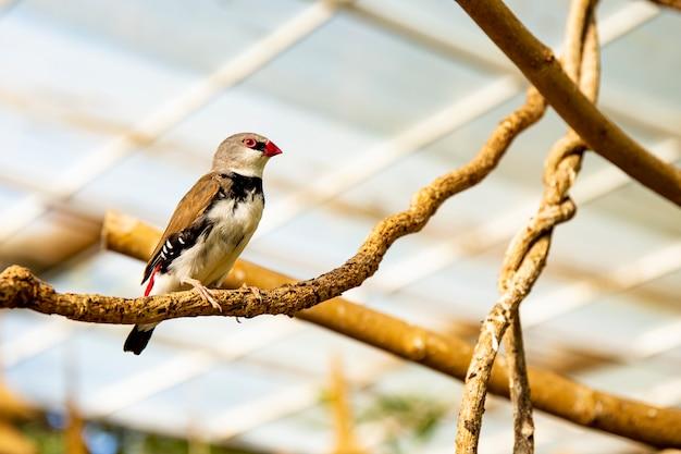 Petit oiseau pinson sur une branche dans une pépinière d'oiseaux
