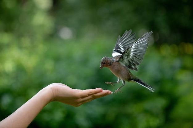 Petit oiseau pinson survolant la main féminine pour prendre des noix dans le parc