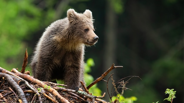 Petit ourson brun debout sur des bâtons dans la forêt d'été