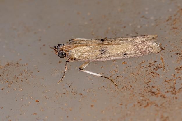 Petit papillon adulte de l'ordre des lépidoptères