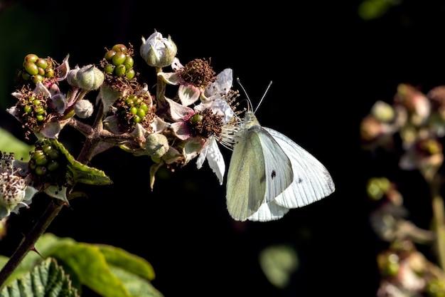 Petit papillon blanc du chou (pieris rapae) se nourrissant d'une fleur de blackberry