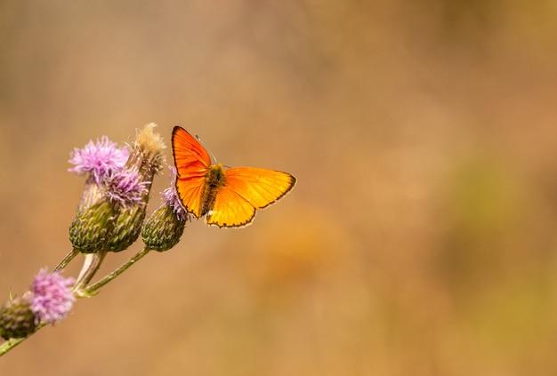 Petit papillon orange en cuivre rare (lycaena virgaureae) avec des bords d'aile brun assis sur des fleurs de chardon, macro insecte animal