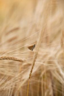 Un petit papillon se repose sur un épi de blé