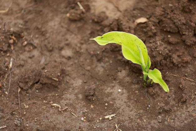 Petit plant de bananier en inde