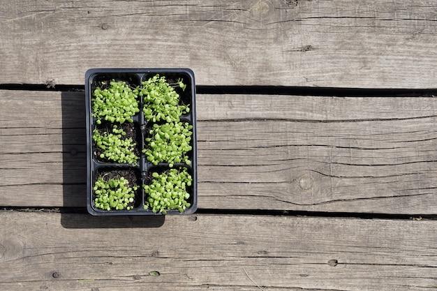 Petit Plant De Tabac Vert Dans Des Pots En Plastique Sur Fond De Bois Rustique. Photo Premium
