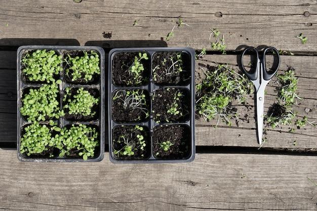 Petit Plant De Tabac Vert Dans Des Pots En Plastique Et Paire De Ciseaux Sur Fond De Bois Rustique. Photo Premium