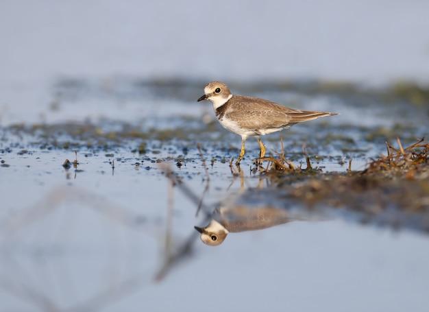 Le petit pluvier annelé (charadrius dubius) en plumage d'hiver sur la rive de l'estuaire.