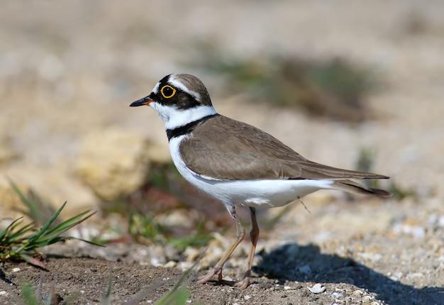 Petit pluvier annelé mâle en plumage nuptial debout sur le sable close up