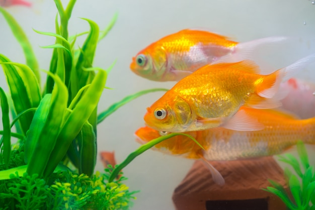 Petit poisson doré en aquarium ou aquarium