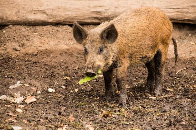 Petit porc sauvage à mâcher un brin d'herbe