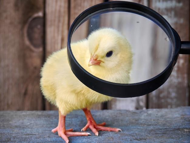 Petit poulet bouchent