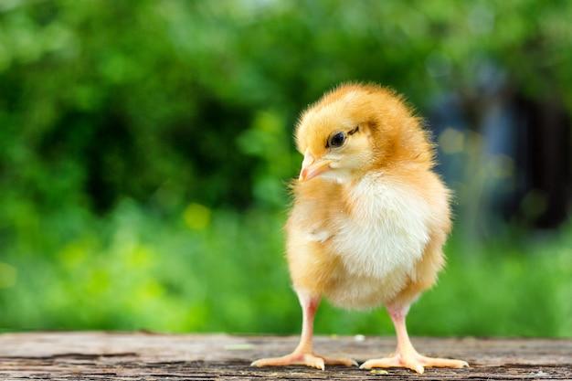 Un petit poulet brun se dresse sur un fond en bois, suivi d'un fond vert naturel