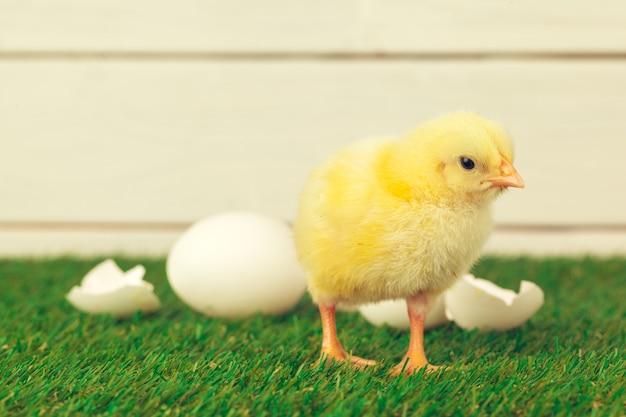 Petit poulet sur l'herbe