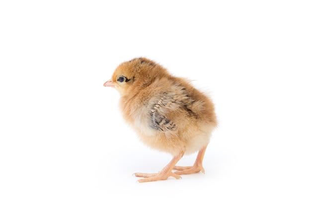 Petit poulet isolé sur blanc