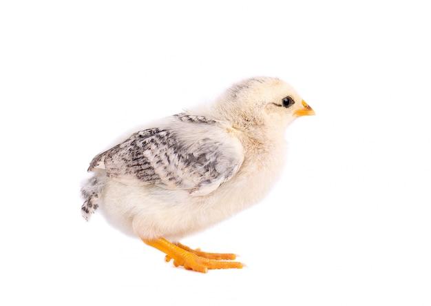 Petit poulet isolé sur fond blanc. poulet nouveau-né avec un tracé de détourage.