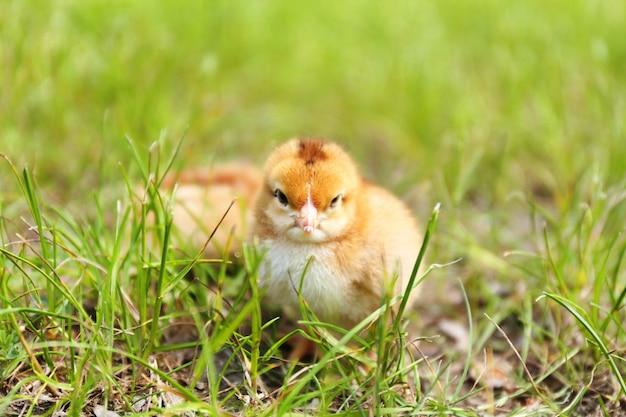 Petit poulet mignon sur l'herbe verte, à l'extérieur