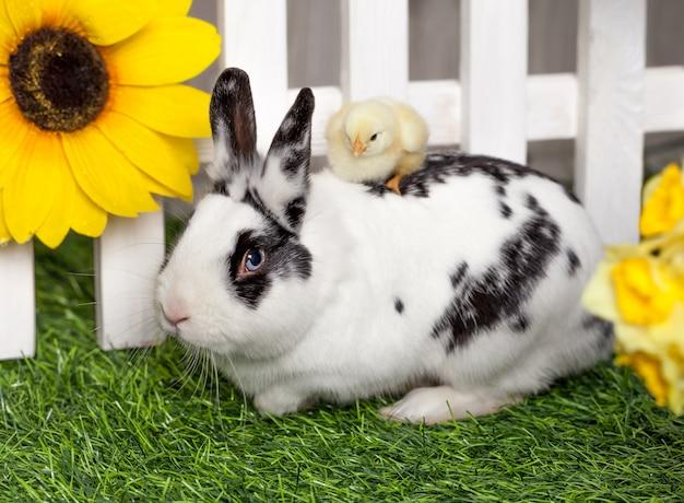 Le petit poussin jaune est assis à califourchon sur un lapin,