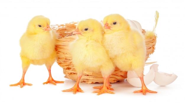 Petit poussin et oeufs au nid, isolé sur le blanc