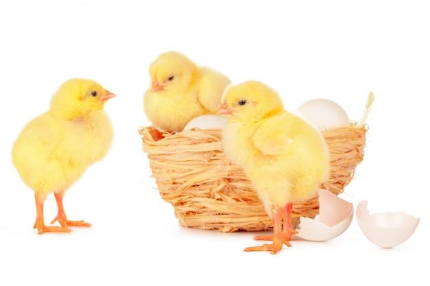 Petit poussin et oeufs au nid, isolé