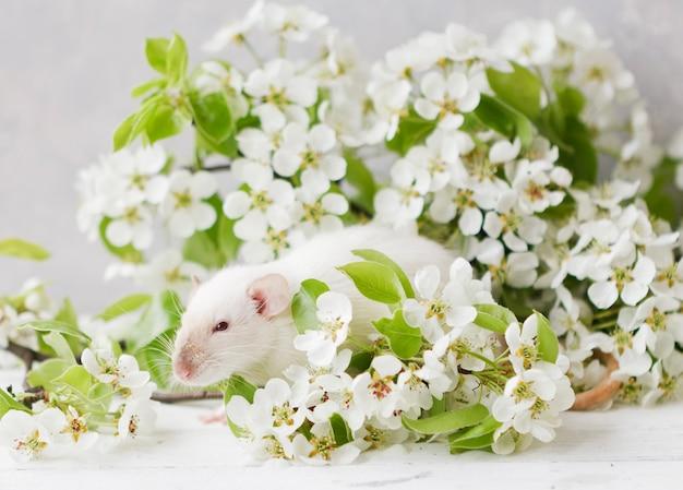 Petit rat blanc mignon dans de belles branches de cerisier en fleurs