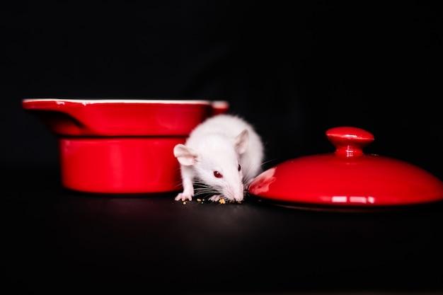 Le petit rat mignon mange un biscuit, le rat domestique mange une friandise. moelleux animal de compagnie de rongeur avec petites mains tenant de la nourriture.