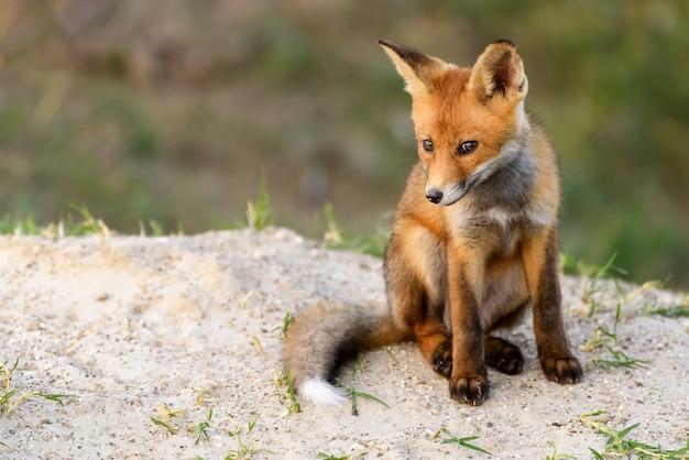 Petit renard roux assis près de son trou en regardant la caméra