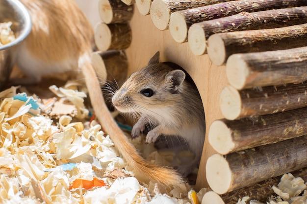 Un petit rongeur domestique gerbille sort de sa maison en bois dans une cage de sciure de bois