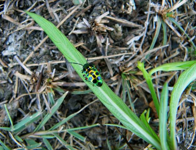 Un petit scarabée multicolore à pois noirs reposant sur une herbe verte vibrante
