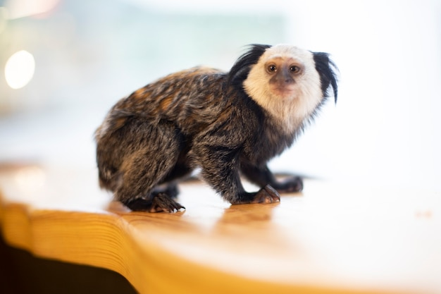 Petit singe à crête noire sur fond clair. animaux. petit singe