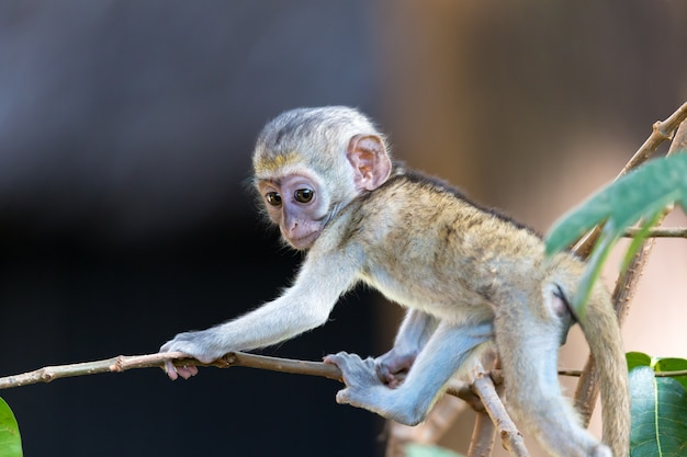Un petit singe drôle joue sur le sol ou sur l'arbre
