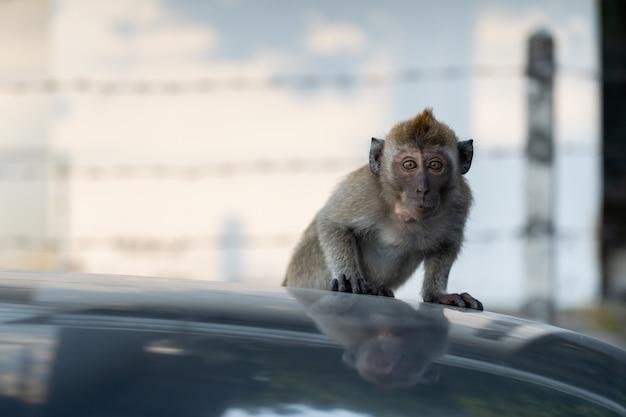 Petit singe grimpe sur la voiture du toit