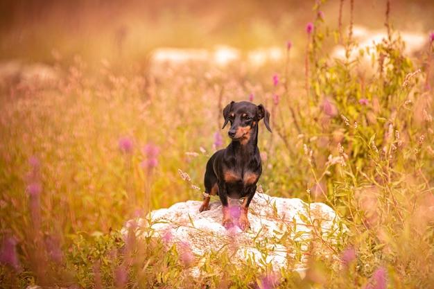 Petit teckel dans l'herbe dans la nature
